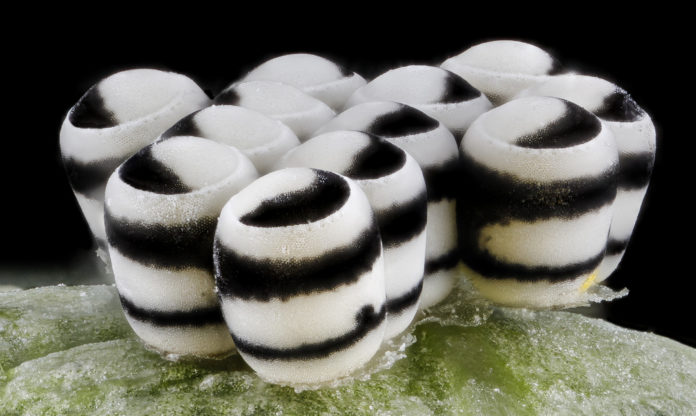 black and white striped eggs