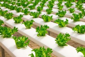 types of lettuce and how to grow lettuce hydroponics